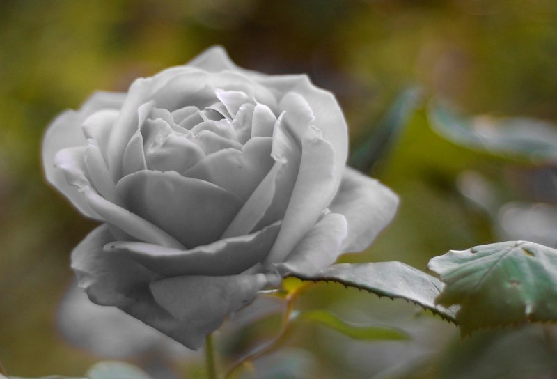 White_rose_by_jossax